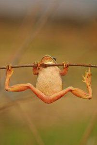 懸垂カエル